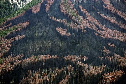 mountain-pine-beetle-devastation.jpg
