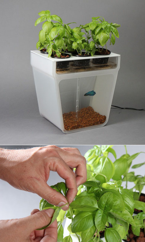 The aquaponics garden a self cleaning fishtank that for Fish tank herb garden