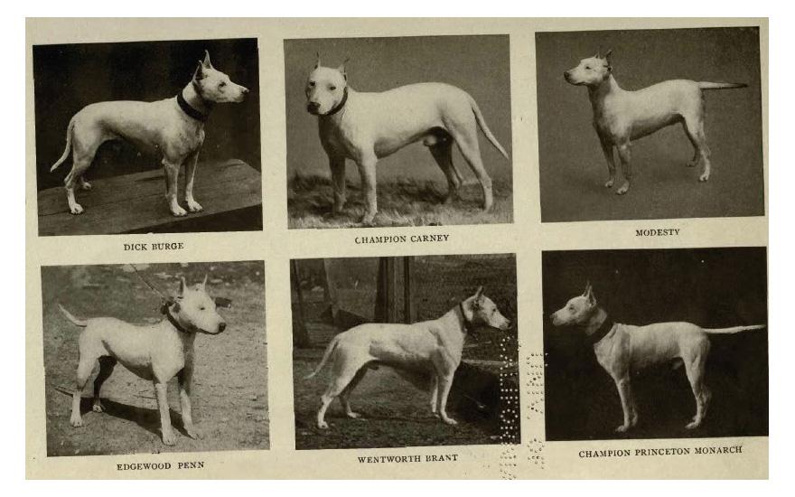 1905BullTerriers-880.jpg
