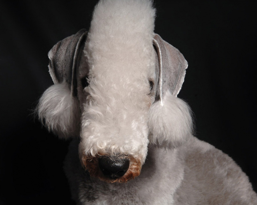 Bedlington-Terrier-880.jpg