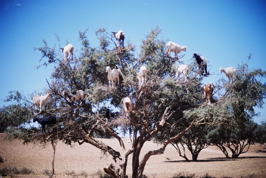 Goats-in-tree-880.jpg