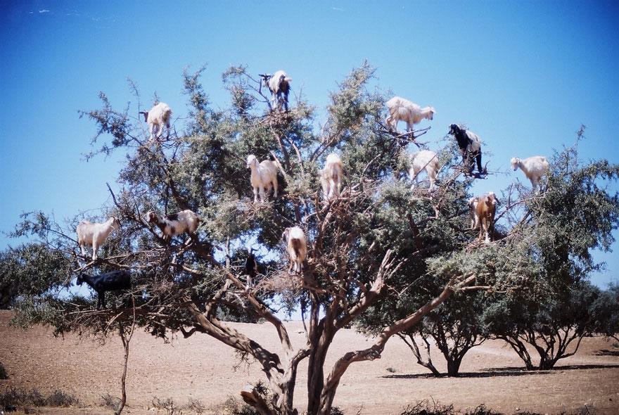 Goats-in-tree-880.jpg
