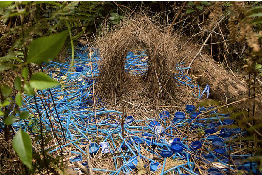 Animal Architects: Bowerbirds Design & Build Showy, Colorful Homes ...