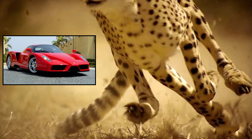 Designed For Speed Cheetahs Do 0 60 Faster Than A