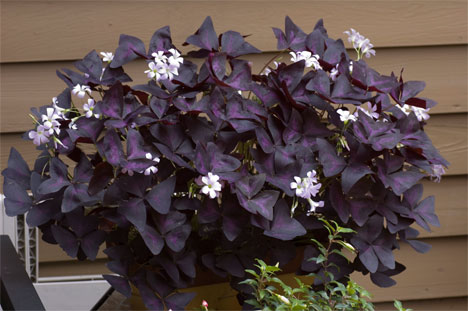 h2w_plants_oxalis.jpg