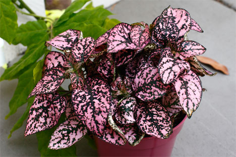 h2w_plants_polka-dot-plant.jpg