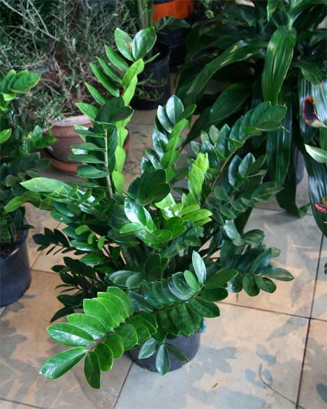 h2w_plants_zzplant.jpg
