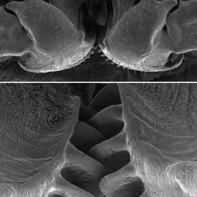 From the Holy Cow Department: An Insect Has Evolved With Mechanical Gears In Its Legs!