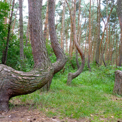 Poland's Forgotten Crooked Forest: What Were They Going to Build With These Strange Trees?