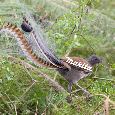 A Bird That Perfectly Mimics the Sound of Power Tools
