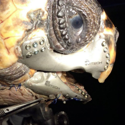 Wounded Turtle Gets Titanium 3D-Printed Jaw